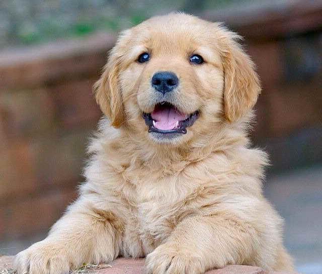How Much Do Golden Retriever Puppies Cost