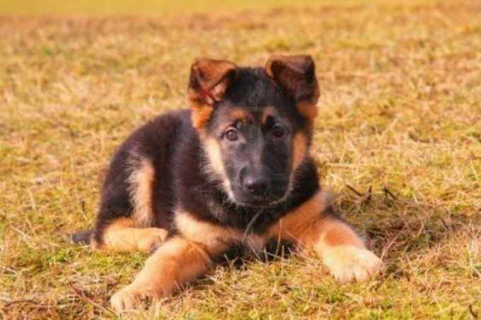 How Much Does A Baby German Shepherd Cost
