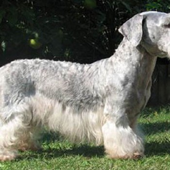 How Much Does A Cesky Terrier Cost