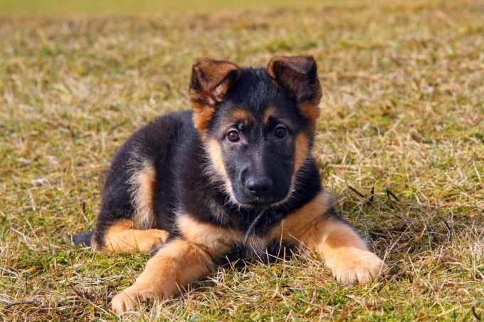 How Much Does A German Shepherd Dog Cost