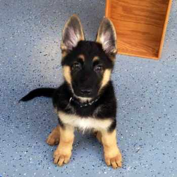 How Much Does A Purebred German Shepherd Puppy Cost