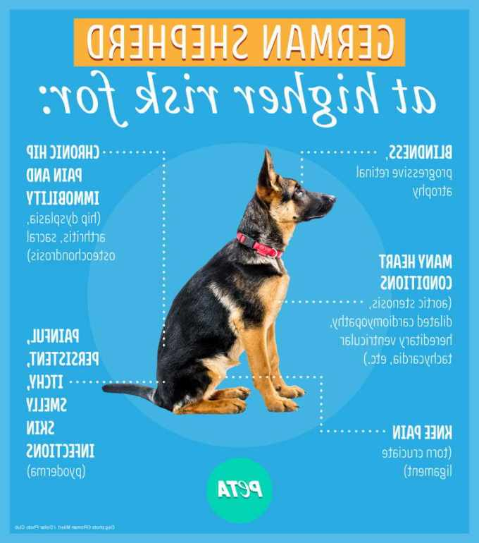 How Much Does A Trained German Shepherd Cost