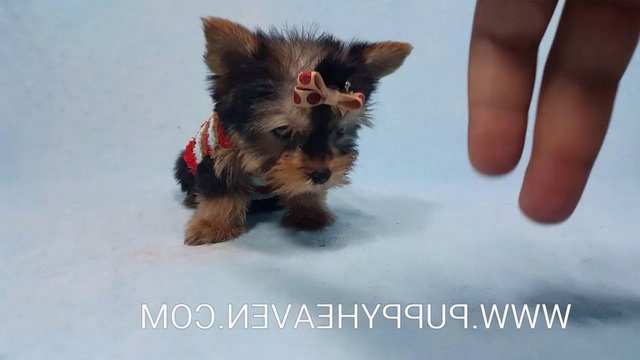 How Much Does A Yorkie Terrier Cost