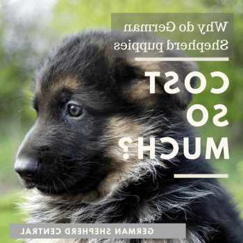 How Much Does German Shepherd Puppies Cost