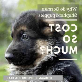 How Much German Shepherd Puppies Cost