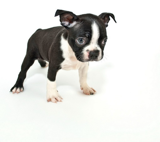 How Much Is A Boston Terrier Puppy