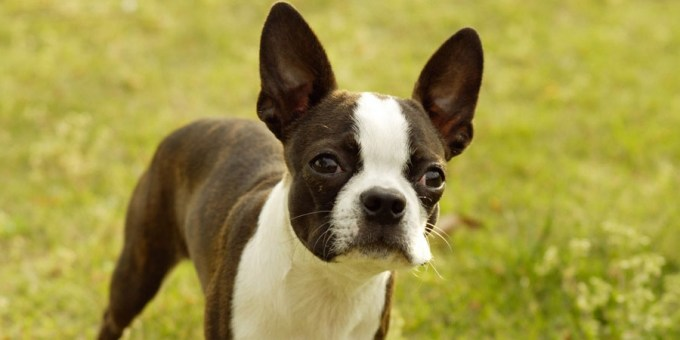 How Much Is A Boston Terrier