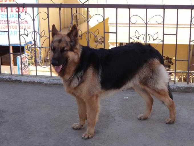 How Much Is A German Shepherd Dog