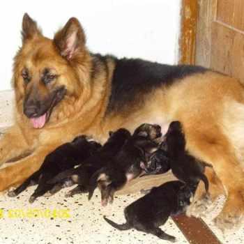 How Much Is A German Shepherd Puppy