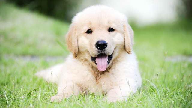 How Much Is A Golden Retriever Puppy