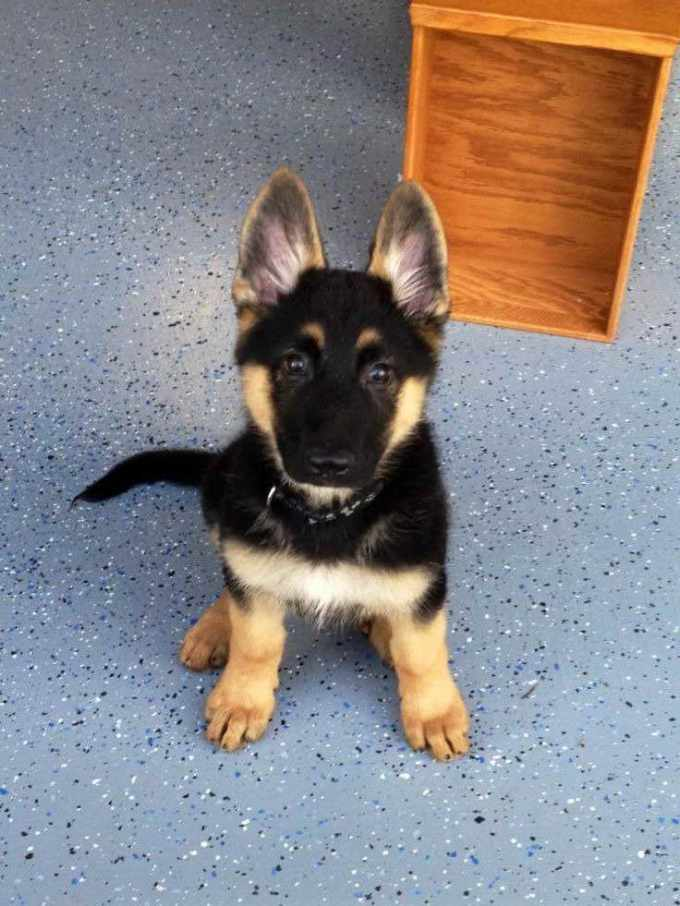 How Much Is A Pure Breed German Shepherd