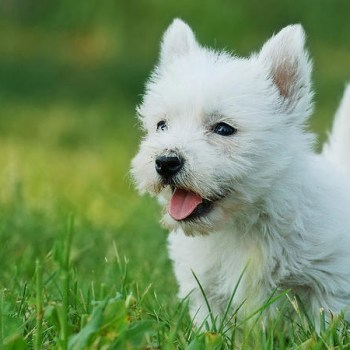 How Much Is A West Highland White Terrier