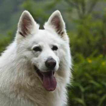 How Much Is A White German Shepherd