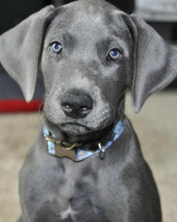 How Much Should A Great Dane Puppy Eat