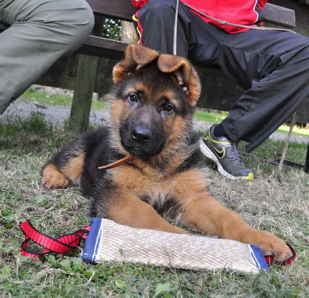 How To Get A German Shepherd Puppy To Stop Biting