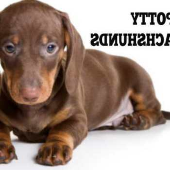 How To House Train A Dachshund Puppy