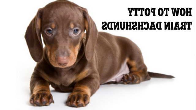 How To Train A Dachshund Puppy