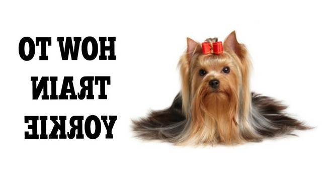 How To Train A Yorkie Terrier Puppy