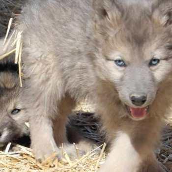 Husky Wolf Hybrid For Sale