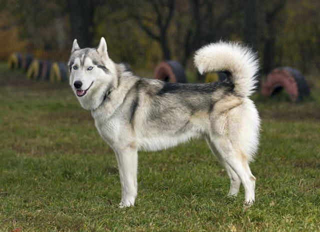 Husky Wolf Mix