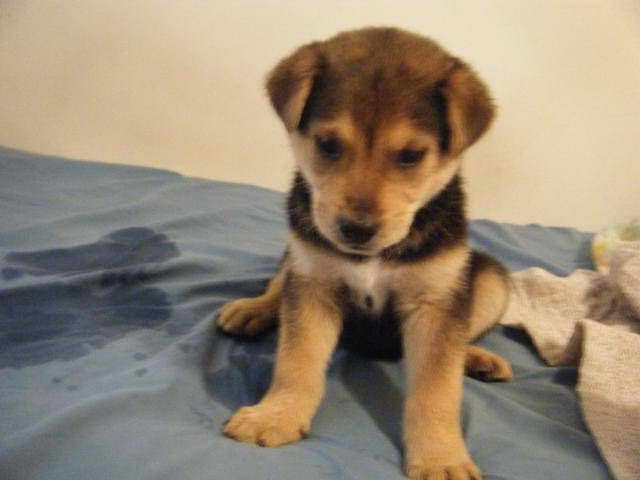 Lab Husky Mix Puppies Sale
