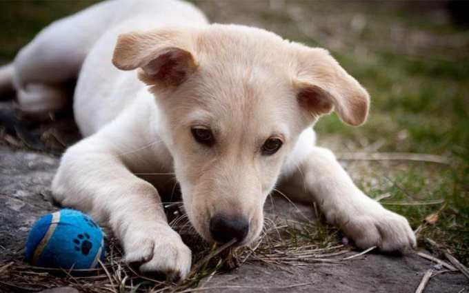 Lab Husky Mix Puppy