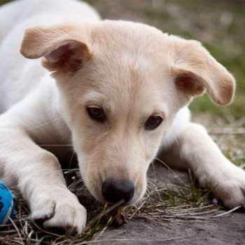 Lab Husky Puppy