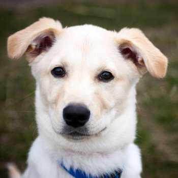 Labrador Husky Mix Puppies