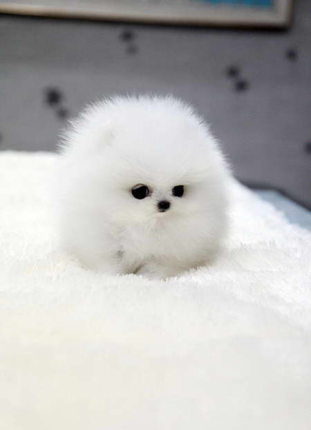 How Much Are Teacup Pomeranian Puppies