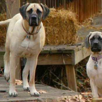 How Much Do Mastiff Puppies Cost