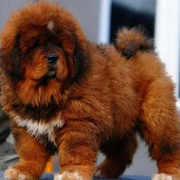 How Much Do Tibetan Mastiff Puppies Cost