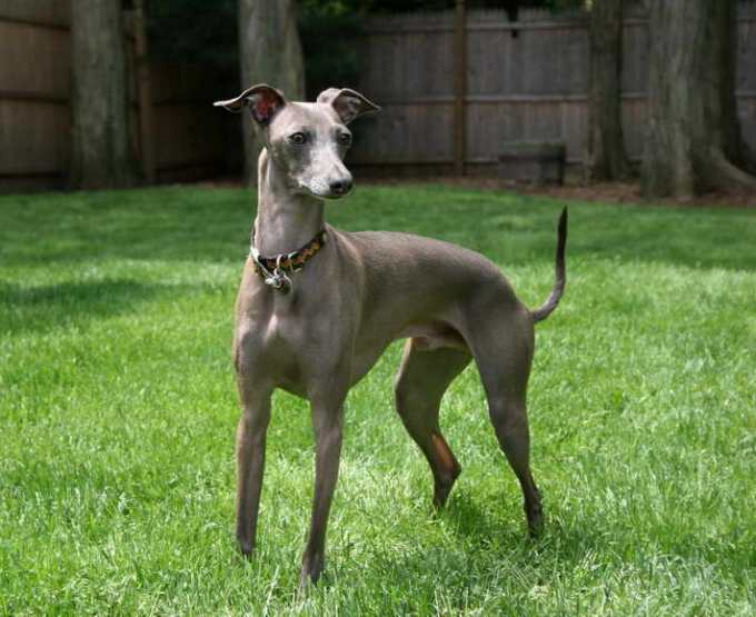 How Much Does A Greyhound Dog Cost Resize