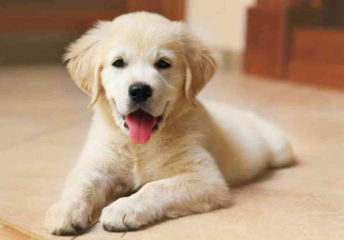 How Much Does A Labrador Puppy Cost