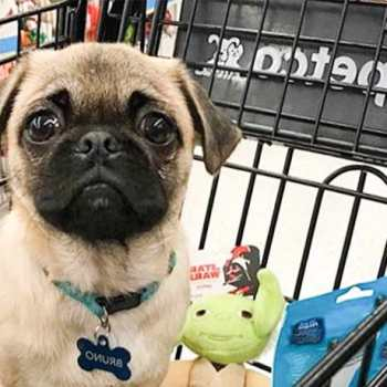 How Much Does A Pug Cost At Petco