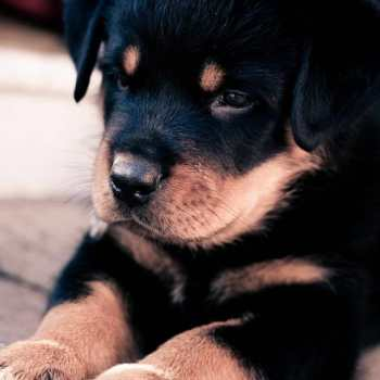How Much Does A Rottweiler Puppy Cost