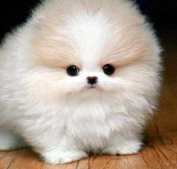 How Much Does A Teacup Pomeranian Cost