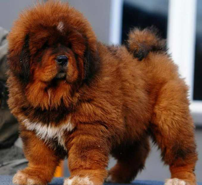How Much Does A Tibetan Mastiff Cost
