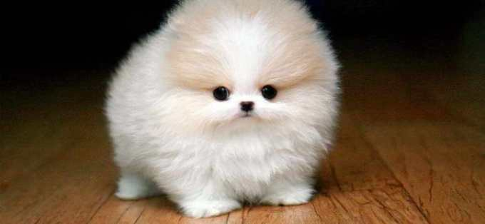 How Much Is A Micro Pomeranian