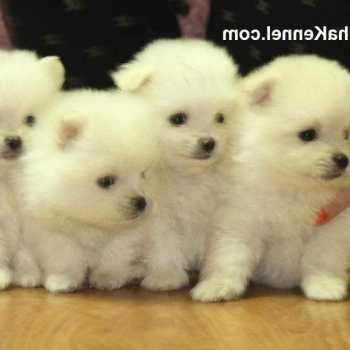 How Much Is A Pomeranian Dog Cost
