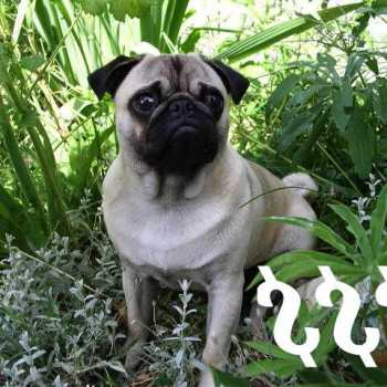 How Much Is A Pug
