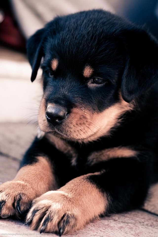 How Much Is A Rottweiler Puppy