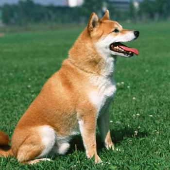 How Much Is A Shiba Inu Puppy Cost
