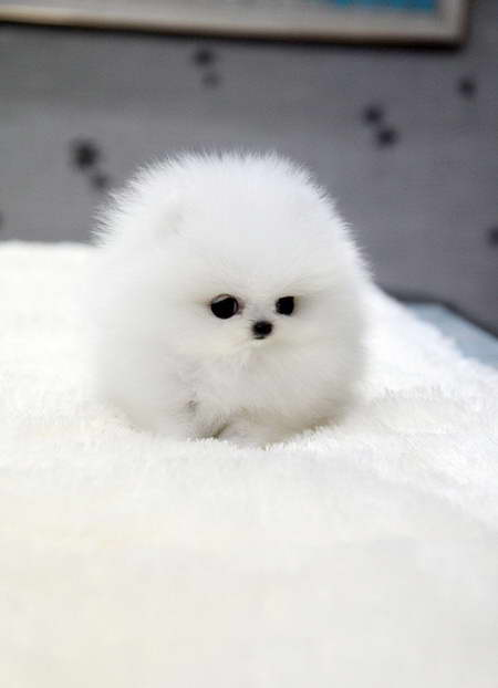 How Much Is A Teacup Pomeranian Dog
