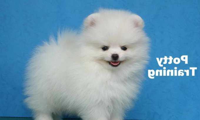 How To House Train A Pomeranian