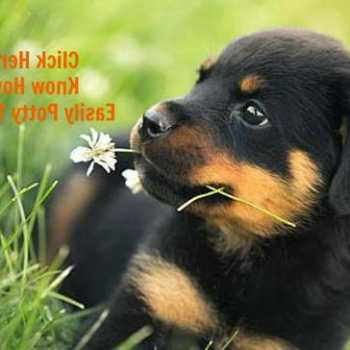 How To House Train A Rottweiler Puppy