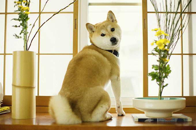 How To Take Care Of A Shiba Inu