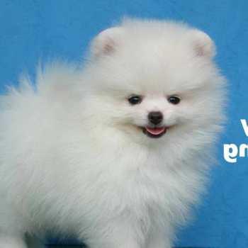 How To Train Pomeranian