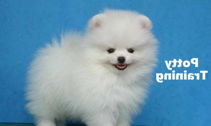 How To Train Pomeranian