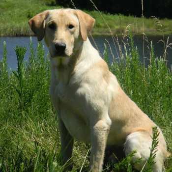 Hunting Labrador Retriever Breeders