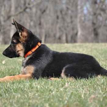 Illinois German Shepherd Breeders